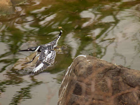 coraciiformes: A pied kingfisher takes flight from one of its fishing perches on the river running through the Madikwe River Lodge in the Madikwe Game Reserve, South Africa.