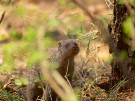 herpestidae: One of a large group of banded mongoose forages in the grounds of Madikwe River Lodge in the Madikwe Game Reserve, South Africa.
