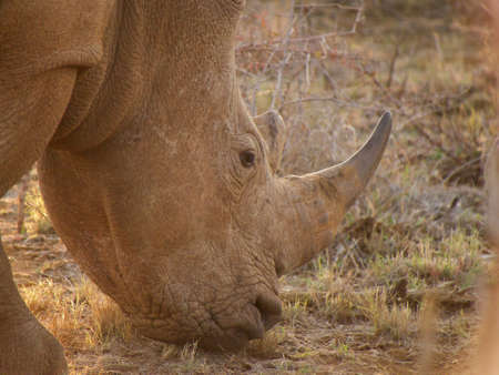 oxpecker: A southern white rhino calmly grazes, oblivious to onlookers. Somewhere in the South African Veld.