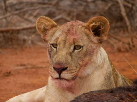 bloodied: Face bloodied from feeding on a wildebeest, a sub-adult lion keeps a watchful eye for potential scavengers.
