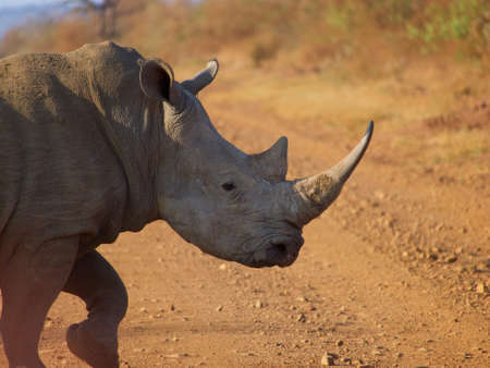 oxpecker: A very large southern white rhino makes its way across a dirt road, somewhere in the South African Veld. Stock Photo