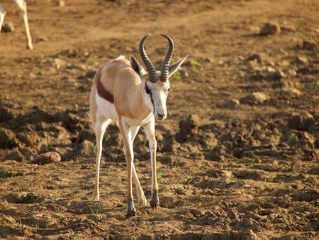 springbok: Male springbok. Madikwe Game Reserve, South Africa.