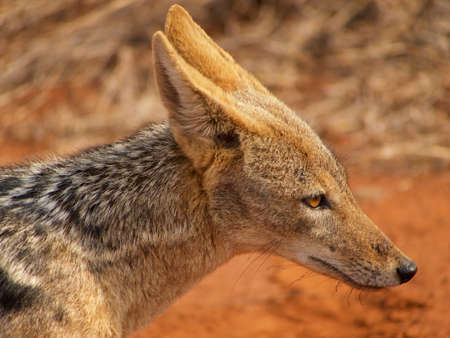 the game reserve: Black-backed jackal are always skulking around lion kills in the Madikwe Game Reserve, South Africa.