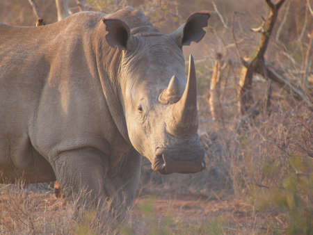 veld: A very large southern white rhino makes its way through the bush, somewhere in the South African Veld. Stock Photo