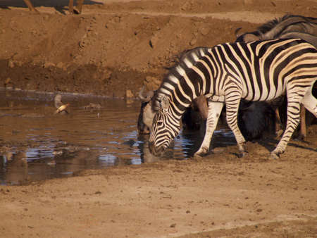 oxpecker: Zebra and blue wildebeest drinking at a waterhole. Madikwe Game Reserve, South Africa.