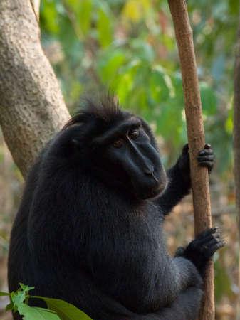 sulawesi: Sulawesi crested macaque alpha male, Aslan, Tangkoko Jungle Reserve, North Sulawesi, Wonderful Indonesia.