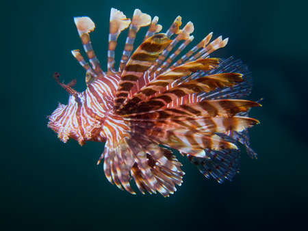common lionfish: Beautiful common lionfish at one of my favourite macro sites in North Sulawesi, Paradise Jetty, near Pulisan.