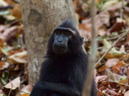 celebes: Sulawesi crested macaque in Tangkoko Jungle Reserve, North Sulawesi, Indonesia.