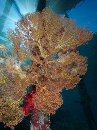 sea fans: Sunbeams illuminating one of the many huge sea fans that adorn wooden jetty pillars throughout Raja Ampat, Wonderful Indonesia