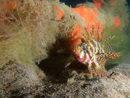 turkeyfish: Dwarf lionfish at one of my favourite macro sites in North Sulawesi, Paradise Jetty, near Pulisan, Indonesia. Stock Photo