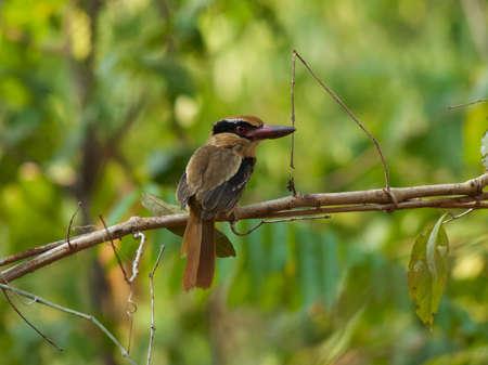 coraciiformes: Lilac kingfisher in Tangkoko Jungle Reserve, North Sulawesi, Wonderful Indonesia.