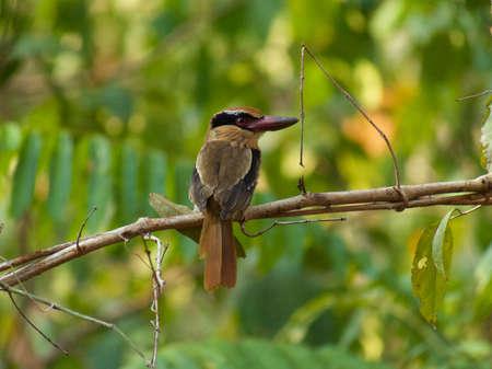 celebes: Lilac kingfisher in Tangkoko Jungle Reserve, North Sulawesi, Wonderful Indonesia.