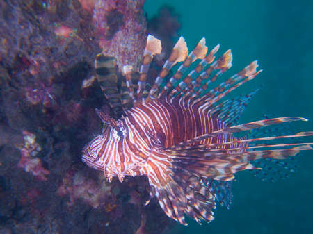 turkeyfish: Beautiful common lionfish at one of my favourite macro sites in North Sulawesi, Paradise Jetty, near Pulisan, Wonderful Indonesia.