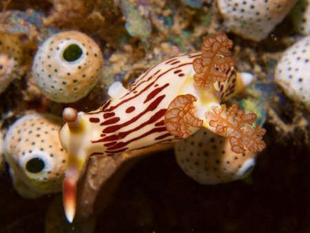 nudibranch: Nembrotha lineolata nudibranch on tunicates in Raja Ampat, Wonderful Indonesia Stock Photo
