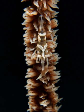 anthozoa: Zanzibar whip coral shrimp and host wire coral in Raja Ampat, Wonderful Indonesia Stock Photo