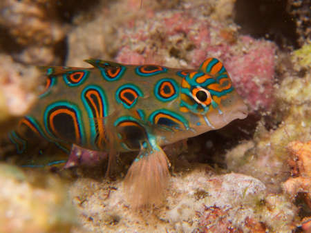 dragonet: Stunningly beautiful  picturesque dragonet look for mates at dusk, Stock Photo