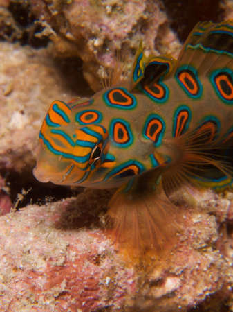 dragonet: Stunningly beautiful  picturesque dragonet look for mates at dusk. Stock Photo