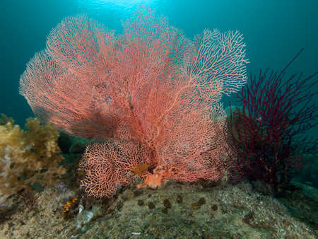 gorgonian sea fan: Beautiful soft corals like this large pink sea fan abound on the spectacular reefs of Raja Ampat, Wonderful Indonesia