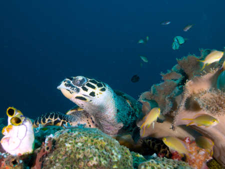 soft corals: Hawksbill turtle resting amongst tunicates and soft corals on a reef in Raja Ampat, Wonderful Indonesia Stock Photo