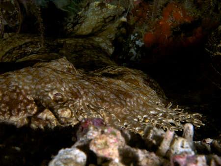 ambush: Tasselled wobbegong lying in ambush, Raja Ampat, Wonderful Indonesia