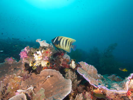 pomacanthus: Sixbar angelfish hovers over reef in  Raja Ampat, Wonderful Indonesia