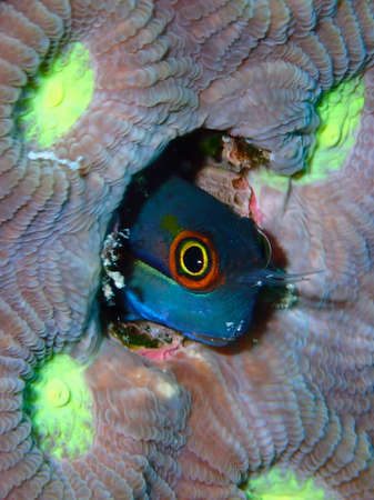 blenny: Tail spot blenny peering out of its hole, Raja Ampat, Wonderful Indonesia