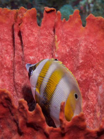 chaetodontidae: Twospot coralfish  in red sponge, Raja Ampat, Wonderful Indonesia