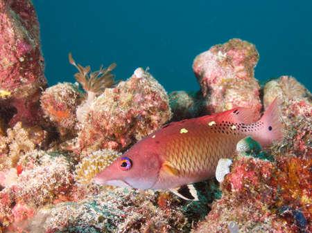 labridae: Dianas hogfish in  Raja Ampat, Wonderful Indonesia
