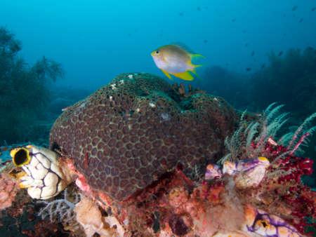 damsel: Orbicular Damsel hovers over reef in  Raja Ampat, Wonderful Indonesia