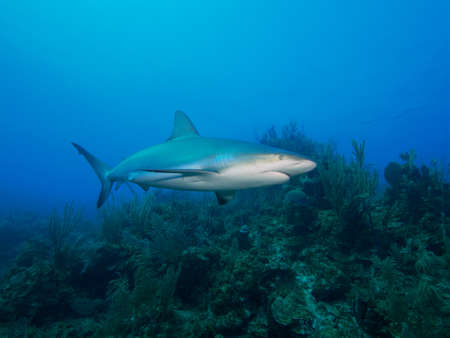 soft corals: Caribbean reef shark against a backdrop of blue water and soft corals. Jardin de la Reina, Cuba.
