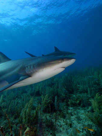 soft corals: A pair of caribbean reef sharks against a backdrop of blue water and soft corals. Jardin de la Reina, Cuba.