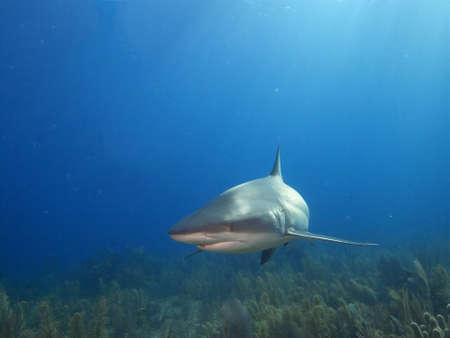 shafts: Caribbean reef shark lit by shafts of sunlight against a backdrop of blue water and soft corals. Jardin de la Reina, Cuba.