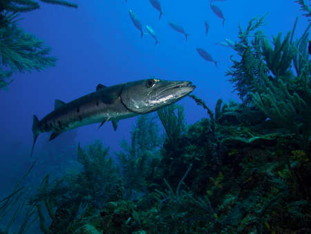 actinopterygii: A very large great Barracuda hangs motionless, waiting for prey, in the clear blue waters of the Jardin de la Reina, Cuba.