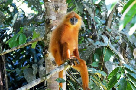 Red leaf monkey in the Danum Valley rainforest, Sabah, Borneo