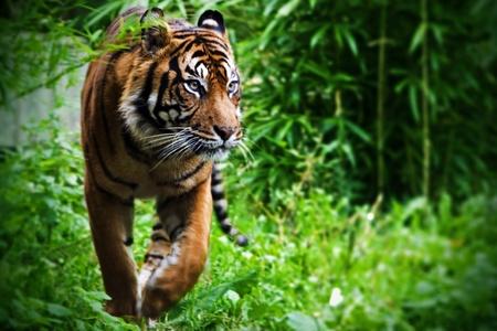 Tigre de caza en el zoo Foto de archivo