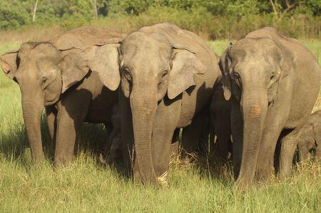 Wild asian elephants grazing in Corbett National Park, India