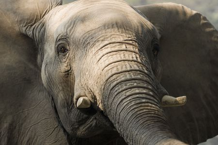 pachyderm: Close up of African Elephant