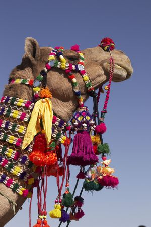 Head and neck of a camel decorated with colorful tassels, necklaces and beads. Desert Festival, Jaisalmer, India