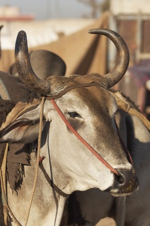 bullock animal: Head of a bullock being sold at the Nagaur Cattle Fair, Rajasthan, India Stock Photo