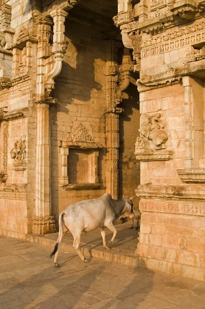 india cow: Cow walking through the entrance to a temple in India