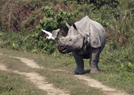 assam: Indian one horned rhinoceros. Kaziranga National Park Assam India