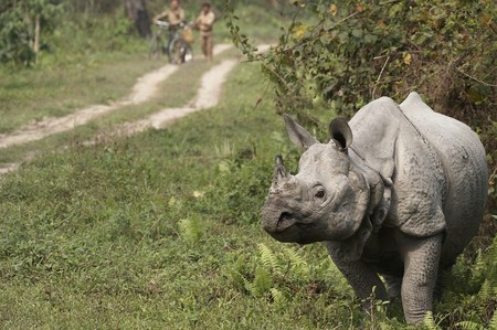 assam: Wild Great Indian One Horned rhinoceros in Kaziranga National Park, Assam, India. Stock Photo