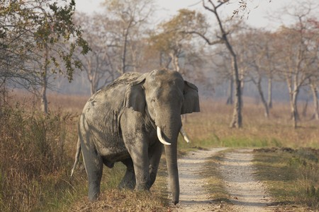Huge wild male Asian Elephant emerging from the forest to cross a track in Kaziranga National Park India Stock Photo