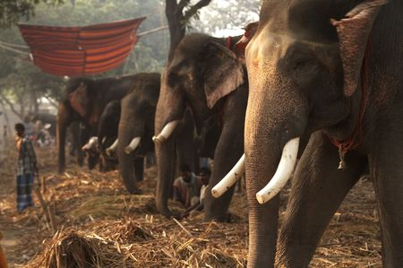 Elephants lined up for sale at Asia's largest cattle fair. Sonepur Bihar India Stock Photo - 4649937