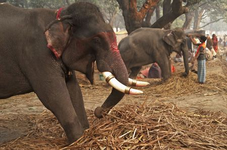tethered: Row of tethered Indian elephants for sale at worlds largest elephant market held annually during the Sonepur Fair in Bihar, India.