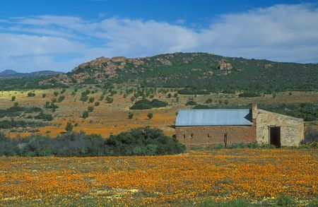 northern cape: Orange daisies carpet the desert at the Skilpad Wildflower Reserve, Northern Cape, South Africa