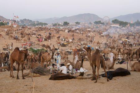 as far as the eye can see: Pushkar, India - November 6, 2008: Camels as far as the eye can see at the annual livestock fair in Pushkar, Rajasthan, India. Editorial
