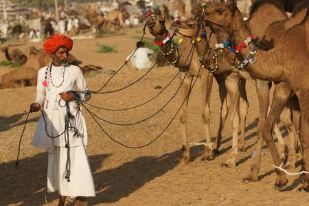 Pushkar, India - November 8, 2008: Indian man leading a group of well groomed young camels across the sand at the Pushkar Fair in Rajasthan, Ind Stock Photo - 7115025