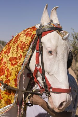 Head and shoulders of a pure white Marwari stallion horse Stock Photo - 7117843