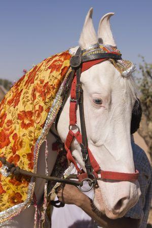 Head and shoulders of a pure white Marwari stallion horse Stock Photo - 7117843